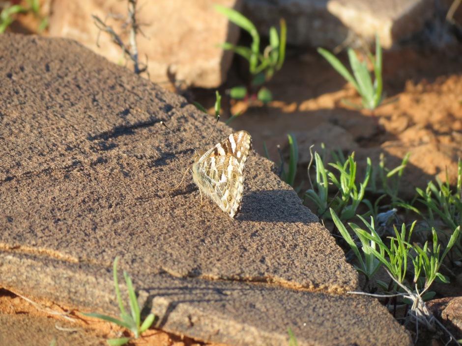 A butterfly suns itself on a rock.