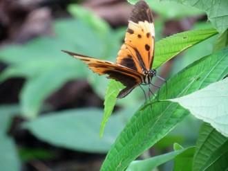 A Lycorea halia (tropical milkweed) butterfly.