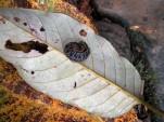 A curling millipede