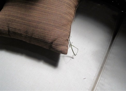 Here is a stick insect.