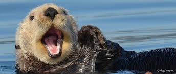 Sea otters making a comeback on the California coast