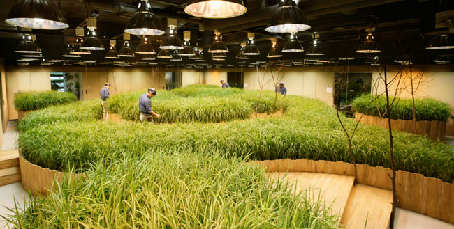 Rice Paddy at Pasona Group Headquarters, Tokyo, Japan