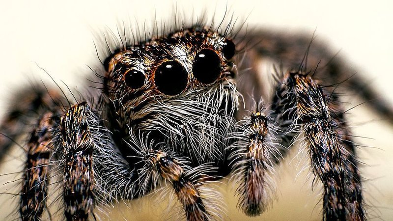 Researchers at Cornell University believe that every spider is able to hear from long distances and not just Jumping Spiders. Credit: npr.org