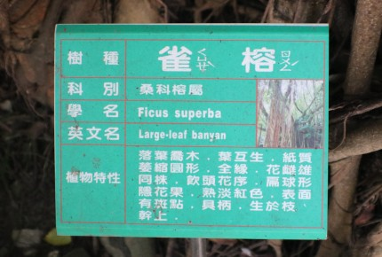 17 large leaf banyan Adventures in Tainan Tree House