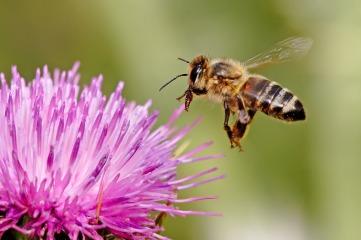 honeybee Column: To bee or not to bee