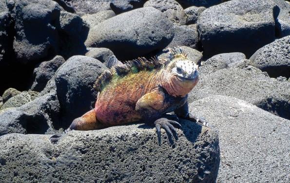 img 5024red marine iguana A unique island tour: The Galapagos