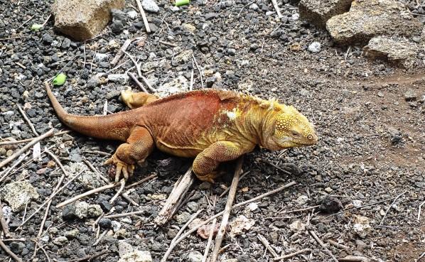 img 5146land iguana A unique island tour: The Galapagos