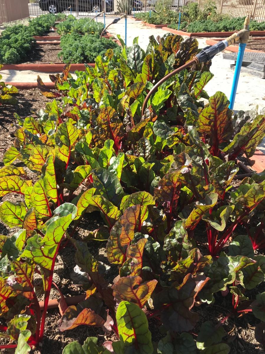 img 3090 CSUSB Palm Desert Campus plants community garden