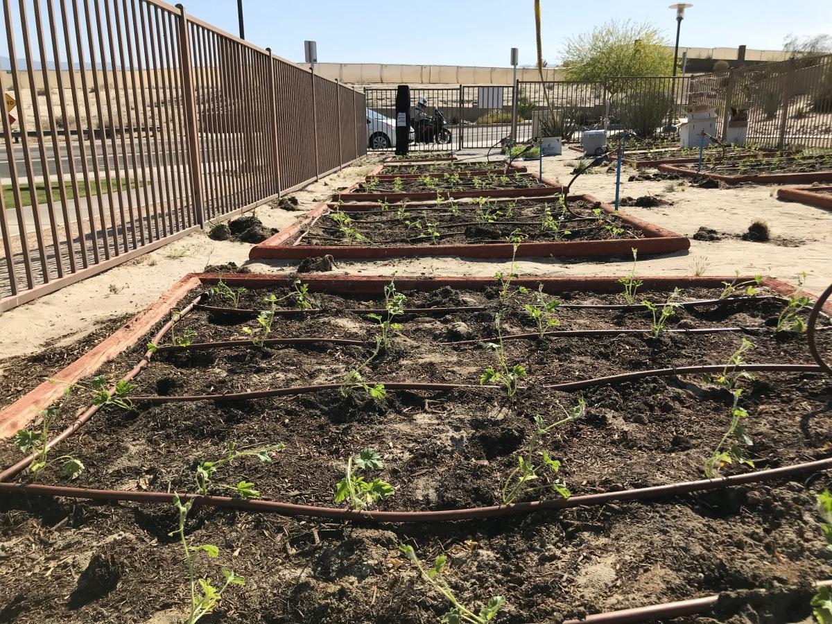 CSUSB Palm Desert Campus plants community garden – HS Insider