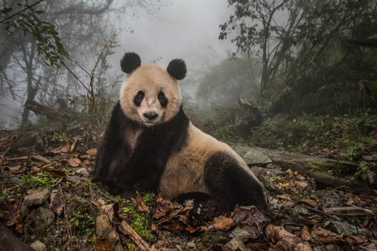 mm8391 151030 33510 Finding Love: Ami Vitale on Documenting Pandas
