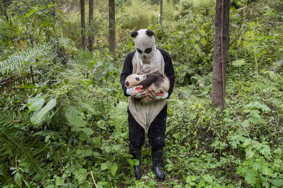 mm8391 151031 34316 Finding Love: Ami Vitale on Documenting Pandas