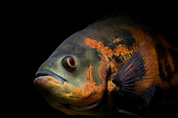 oscar fish1 Opinion: Fish manipulate water flow to problem solve, proving their intelligence