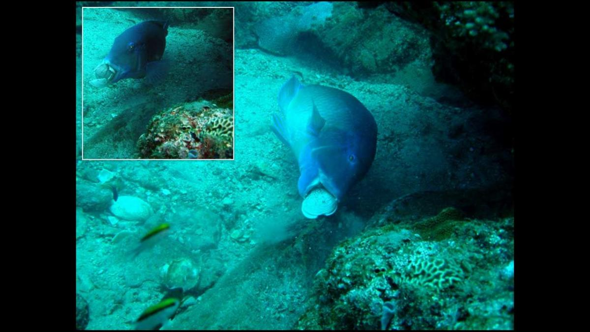 tuskfish using tool Opinion: Fish manipulate water flow to problem solve, proving their intelligence