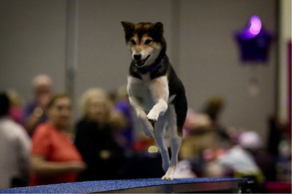 kaze westminister La Cañada P.E. teacher Mary Holts dogs stole the show at Westminster