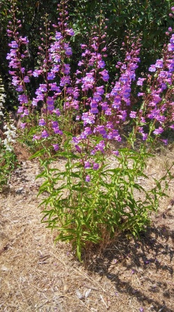 purple flowers Opinion: Enjoy nature and let your troubles slip away at Theodore Payne Nursery